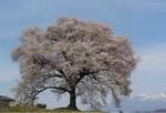 わに桜 s-.jpg
